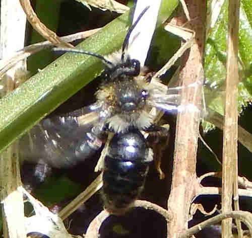 Ashy Mining Bee - <I>Andrena cineraria </I> (male)