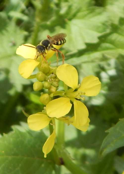 Gooden's nomad bee foraging on rape flower.