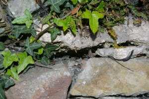 Entrance to a bumble bee nest in a stone wall.