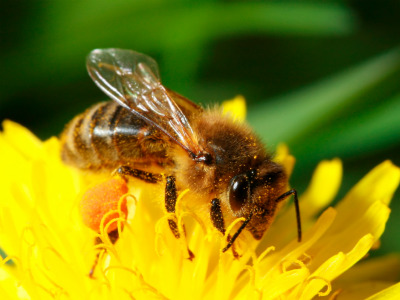 why use drones with Bee Identification on Benefits Of Reading in addition Census Bureau Shows Houston Leads In Population Growth Across Us further Watch as well Vintage Honey Bee Clipart Worker Queen And Drone further Watch.
