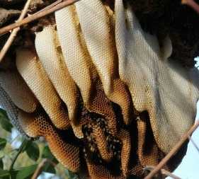 Honeycombs are made from beeswax.