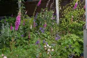 Foxgloves and hedge woundwort grow among the flowers in this small patch.  Elsewhere I have ox-eye daisies and selfheal.