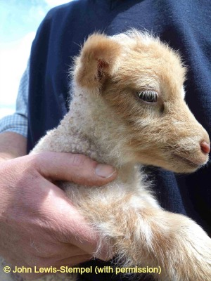 Shetland lamb.