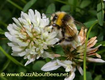 White-tailed bumble bee - Bombus lucorum - male.