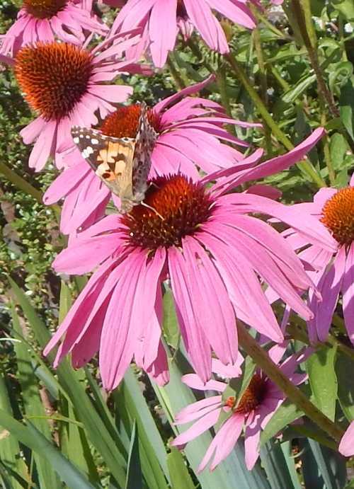 Butterflies visit Echinacea flowers too.