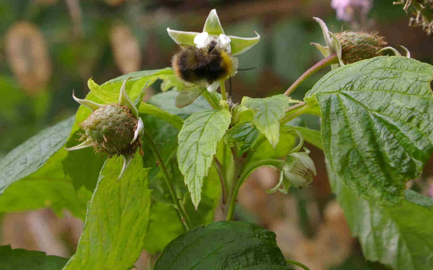 Bumble bee pollinating raspberry flowers.