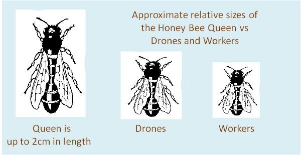 The Honey Bee Life Cyc...