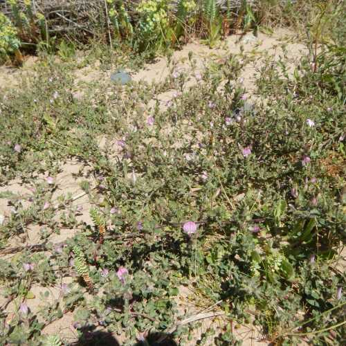 A patch of low-growing common restharrow - Ononis repens on the sandy ground.