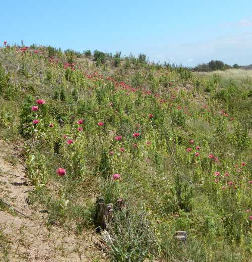 A dry, sandy coastal zone a few miles from me - the area is home to beautiful oriental poppies, scented Rosa rugosa, golden rod, evening primrose, sea holly and more.