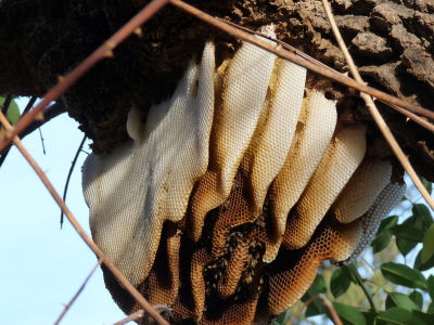 Honey Bees Are Magnificent Creatures They Engineers And Left To Their Own Devices Theyll Construct Nests In The Wild Tree Stumps Or Caves