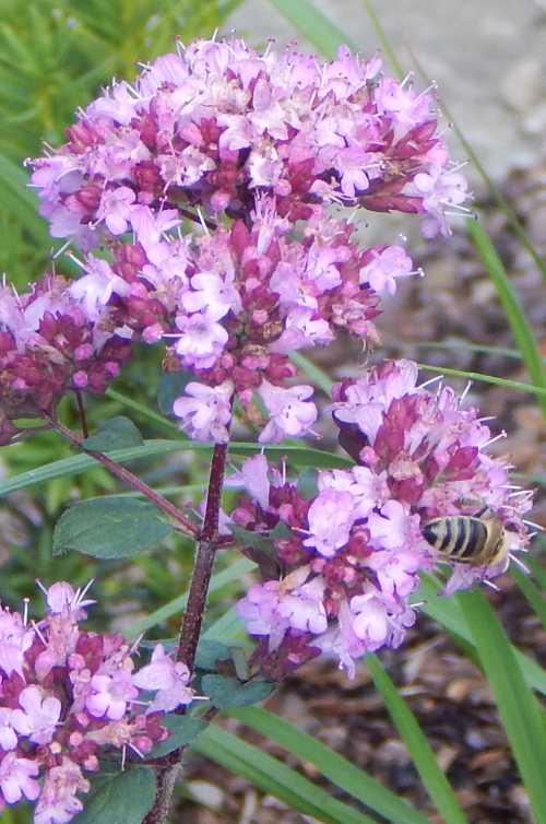 Honey bee - Apis mellifera on marjoram (oregano).