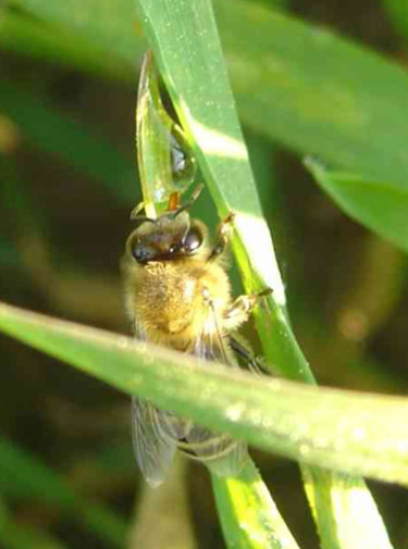 Honey bee drinking guttation - photograph from a field study by beekeepers in Germany.