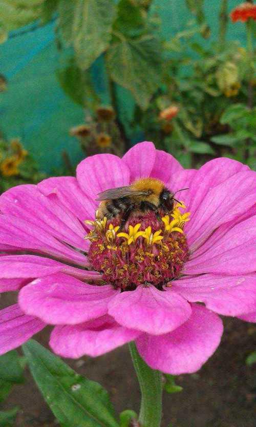 Bombus pascuorum - Common carder bee on Zinnia.
