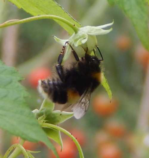 Our raspberry flowers are always buzzing with bees.