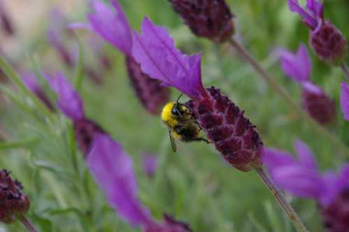 Bumble bee on French lavender.