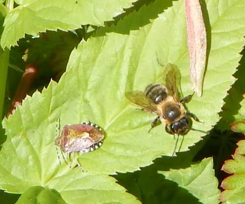 Shield bug (left) with female buffish mining bee, resting on leaf.