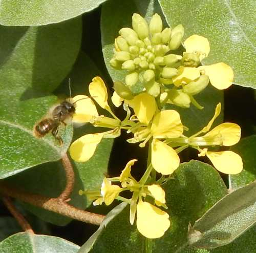 Buffish mining bee - Andrena nigroaena (male).