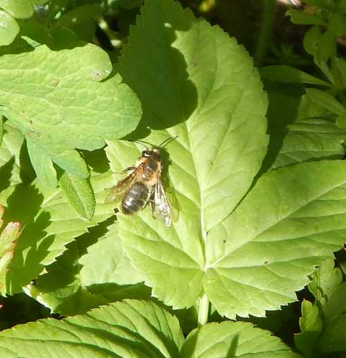 Buffish mining bees are found in a variety of habitats.  On this occasion, the bees were seen just off a coastal pathway.