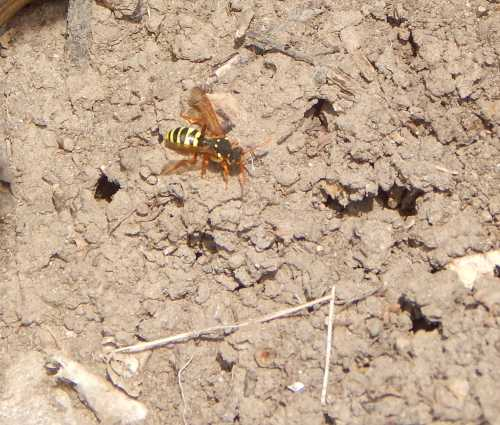 Like other Nomada species, the Gooden's nomad bee is rather wasp-like in appearance.