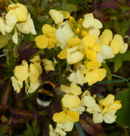 Fragrant wallflowers will attract bumble bees.