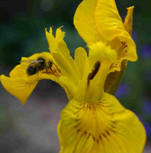 Yellow flag iris is versatile: it will grow in the flower border or in a pond, and is attractive to bees.