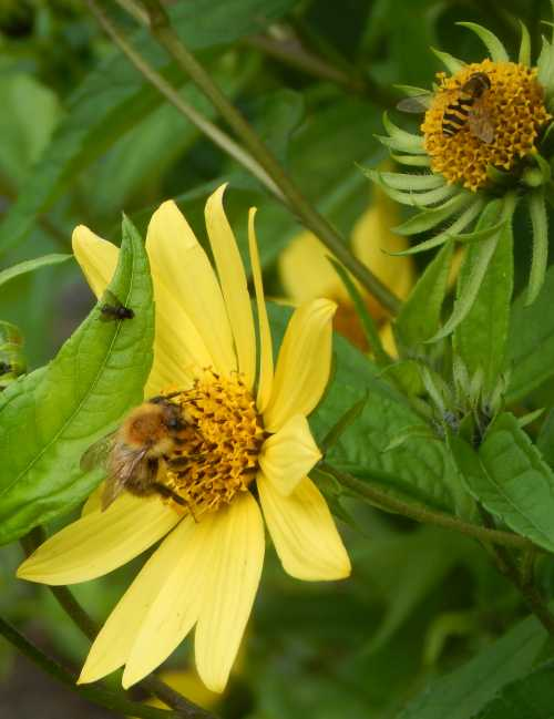 Bumble bee (and hover fly) on helianthus.