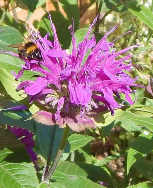 Bumble bee inserting its tongue right into the flower to get at the nectar.