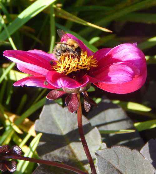 Dahlias offer a variety of gorgeous blooms that are popular with bees, butterflies and other pollinators.  Here, a common carder bumble bee.