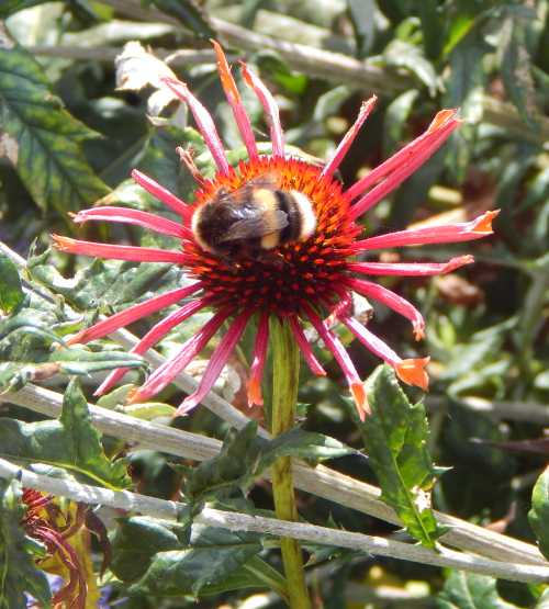 Bumble bee foraging on an Echinacea flower with inward curling petals.