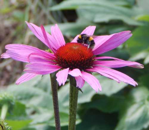 These wonderful, large daisy-like flowers are among my absolute favourites - bees love them too.