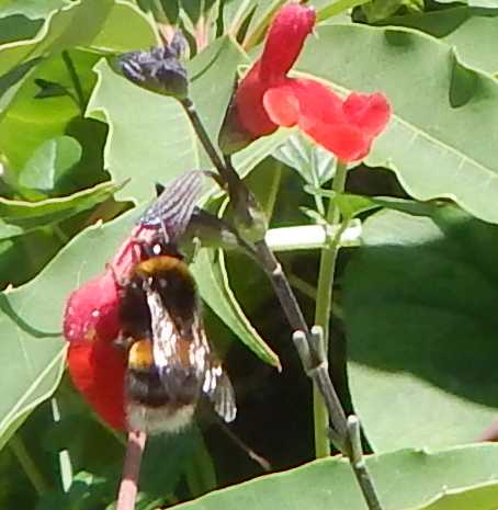 Bumble bee nectar robbing a red flower  a variety of salvia