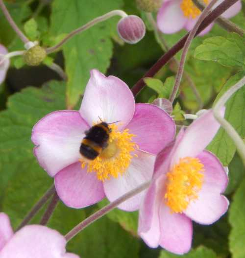 Bumble bees like Japanese anemones too.