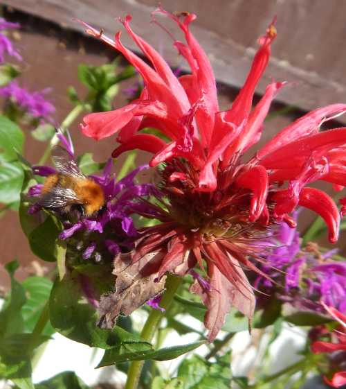 Bee balm is available in various shades of purple and reddish-pink.