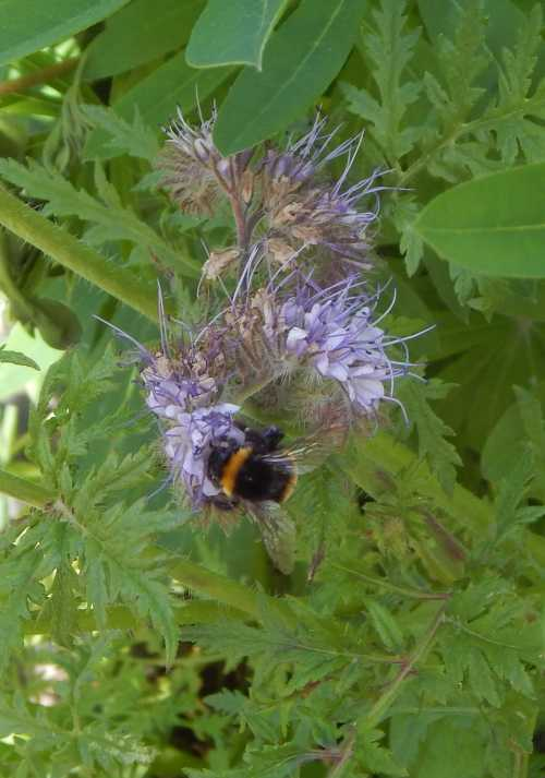 Scorpion weed is one of the easiest flower to grow for bees.