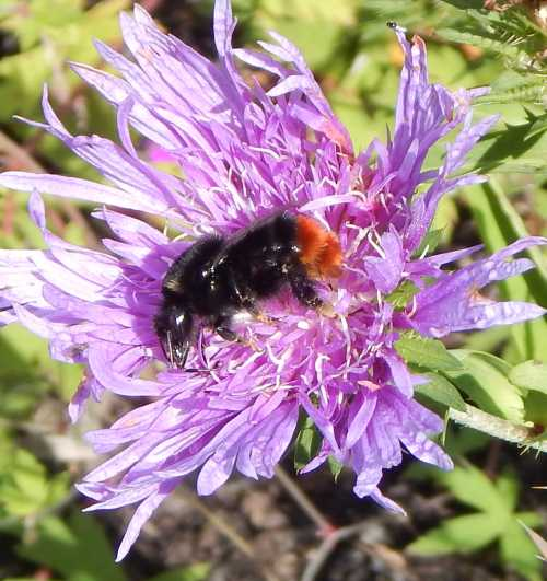 Bombus lapidarius red-tailed bumble bee queen on aster - Stokesia.
