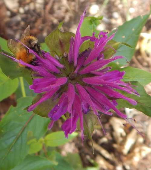 Bee balm is one of the mints - Limiaceae - a flower group with many plants that are popular with bees.