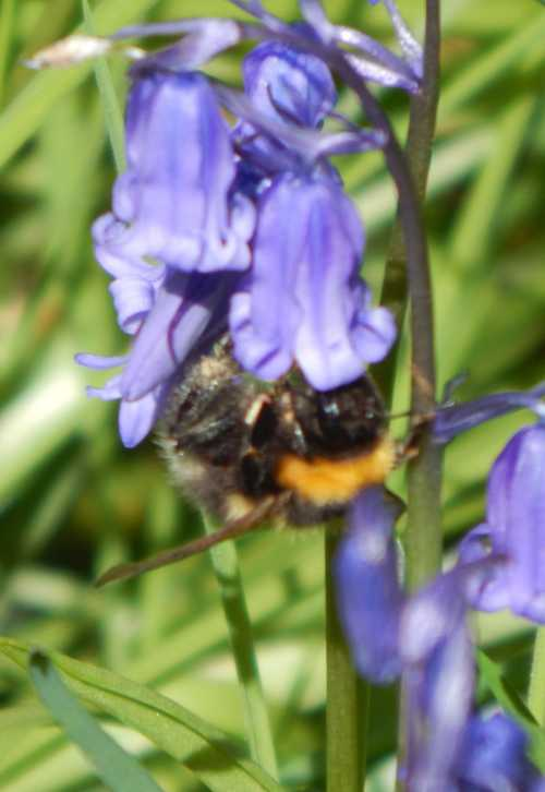 Bumblebee foraging on English bluebell, Hyacinthoides non-scripta