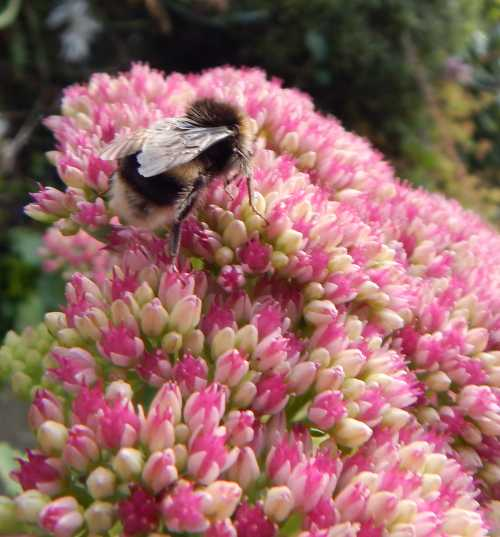 Ice plant - Hylotelephium spectabile is very attractive to bees, butterflies and other pollinators.