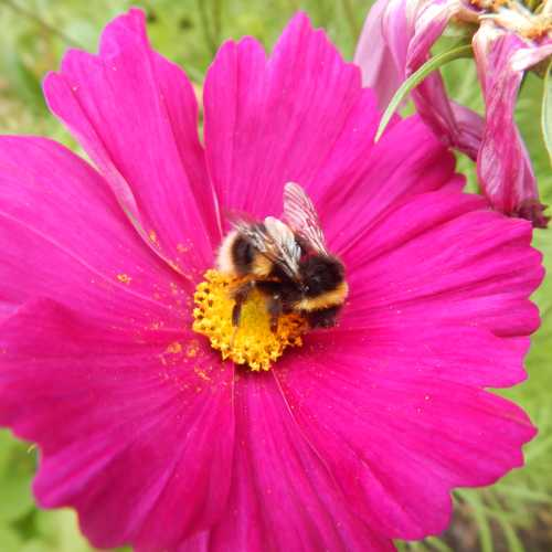 Bees can't resist the beautiful cosmos flower.