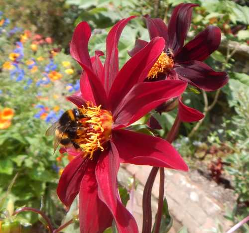 With dahlias, you can always find something to plug a gap in your border, add vibrancy and feed the bees at the same time.