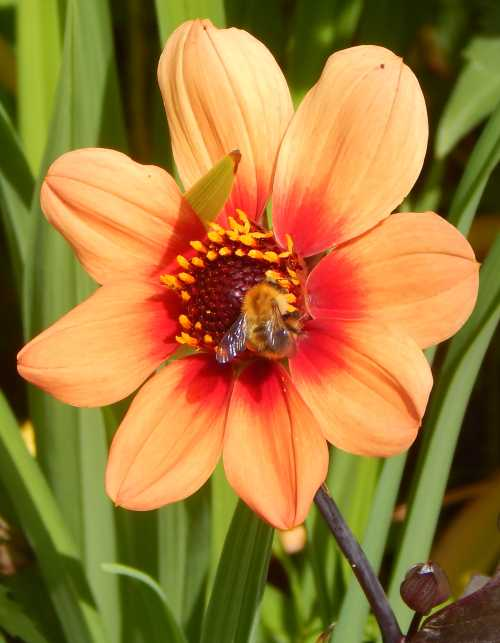 Common carder bumble bee on dahlia 'Happy Single Date'.