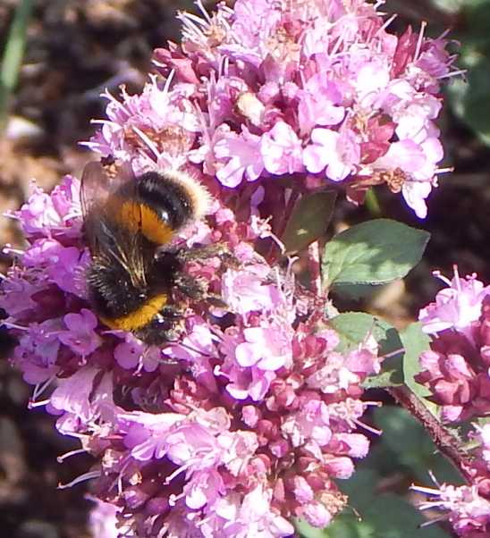 Bombus terrestis (buff-tailed bumble bee) foraging on marjoram Oreganum Rosenkuppel