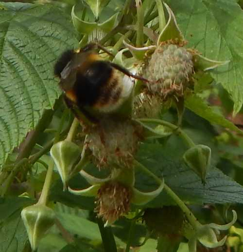 Bumble bee pollinating foraging on raspberry flower.