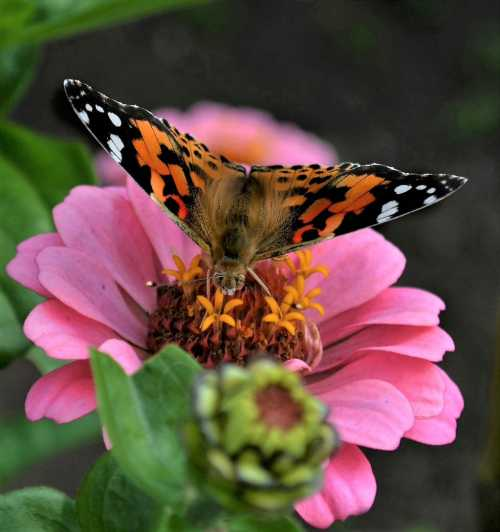 Butterflies are also attracted to Zinnias.