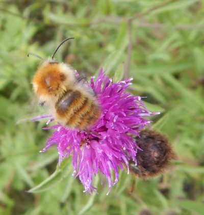 Carder bee on knapweed