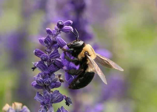 Carpenter bees are sometimes mistaken for bumble bees (image: Wikipedia).