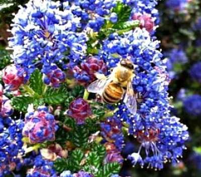 Carmel Ceanothus And Honey Bee