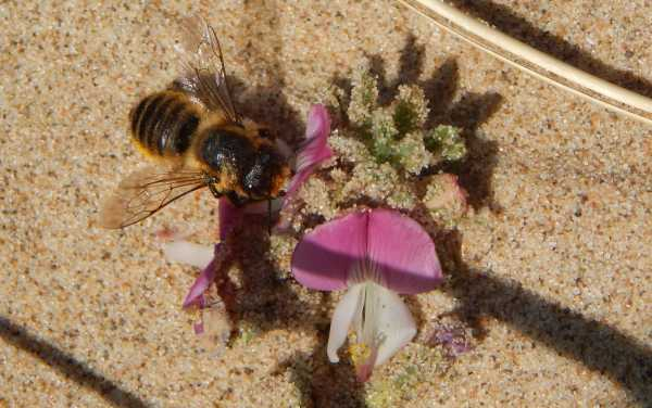 Coastal leafcutter bee foraging on restharrow.