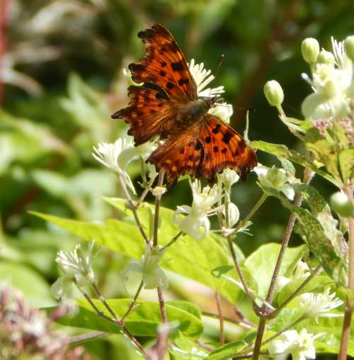 Comma butterfly on white byrony.