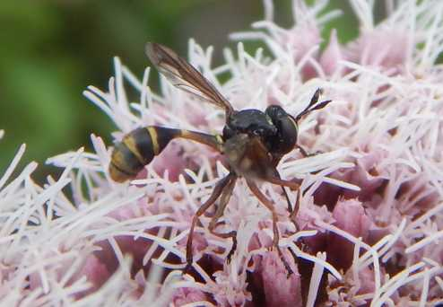Falk's book covers predators and parasites, such as endoparasitoids like this Conopid fly.
